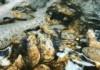 s_牡蠣2